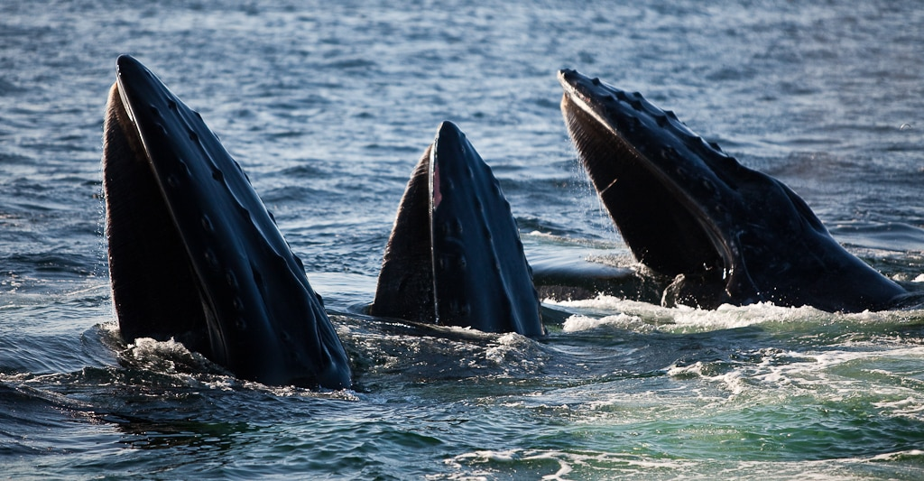 Close up of three whales breaking the water with their mouths.