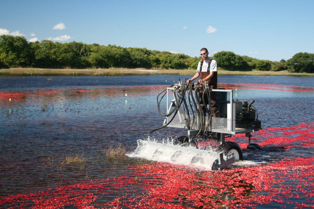 Man operating a cranberry thrasher in a flooded bog of ripe red cranberries