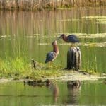 Two green heron standing on a small bit of land in the middle of a pond.