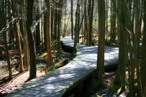 Wooden boardwalk meandering through tall pines