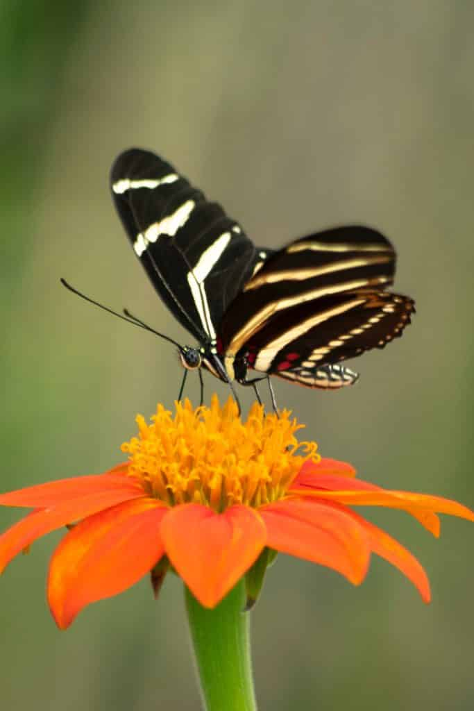 Black butterfly with yellow and white stripes getting nectar from an orange flower